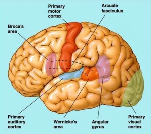 7 areas of brain