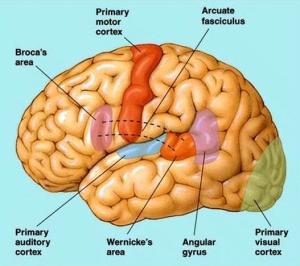 7 areas of brain